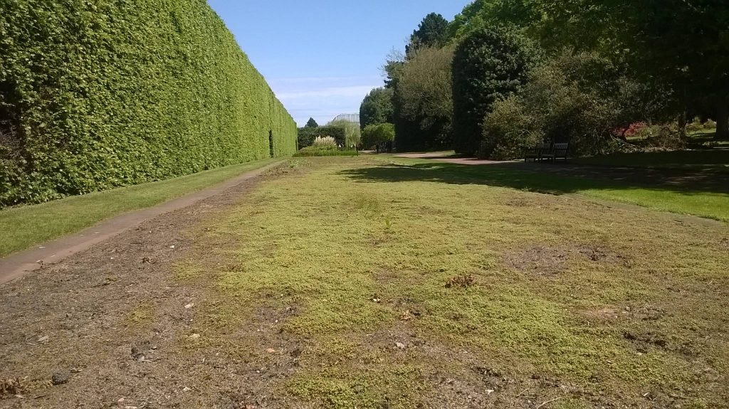 A vast expanse of Marchantia polymorpha volunteers at RBGE
