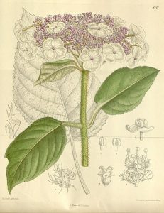 Curtis's Botanical Magazine, London., vol. 138 [= ser. 4, vol. 8]: Tab. 8447