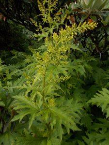 Cacalia aff. delphiniifolia