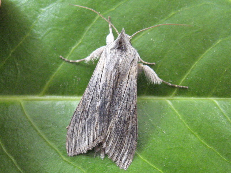 Adult Chamomile Shark moth (Cucullia chamomillae). Source: http://commons.wikimedia.org/wiki/File:Cucullia_chamomillae.jpg. Publisher: Wikipedia Commons. License: Creative Commons Attribution 3.0 Unported