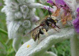 Male wool carder bee on a favoured leaf from which he defends his territory.