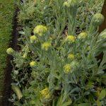 Helichrysum aucheri