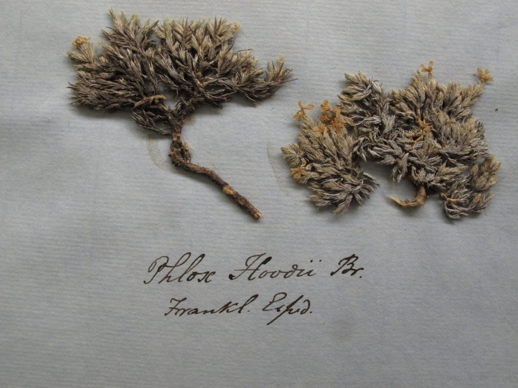 A type sheet, from George Walker-Arnott's herbarium, of Phlox hoodii, the plant chosen by John Richardson to commemorate his murdered colleague.