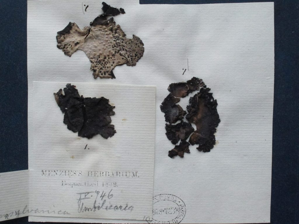Umbilicaria pennsylvanica, specimens given by Richardson to Archibald Menzies – one of the lichens eaten by the party.