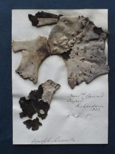 Umbilicaria vellea, specimen from Robert Greville's herbarium – the party's lichen of choice.
