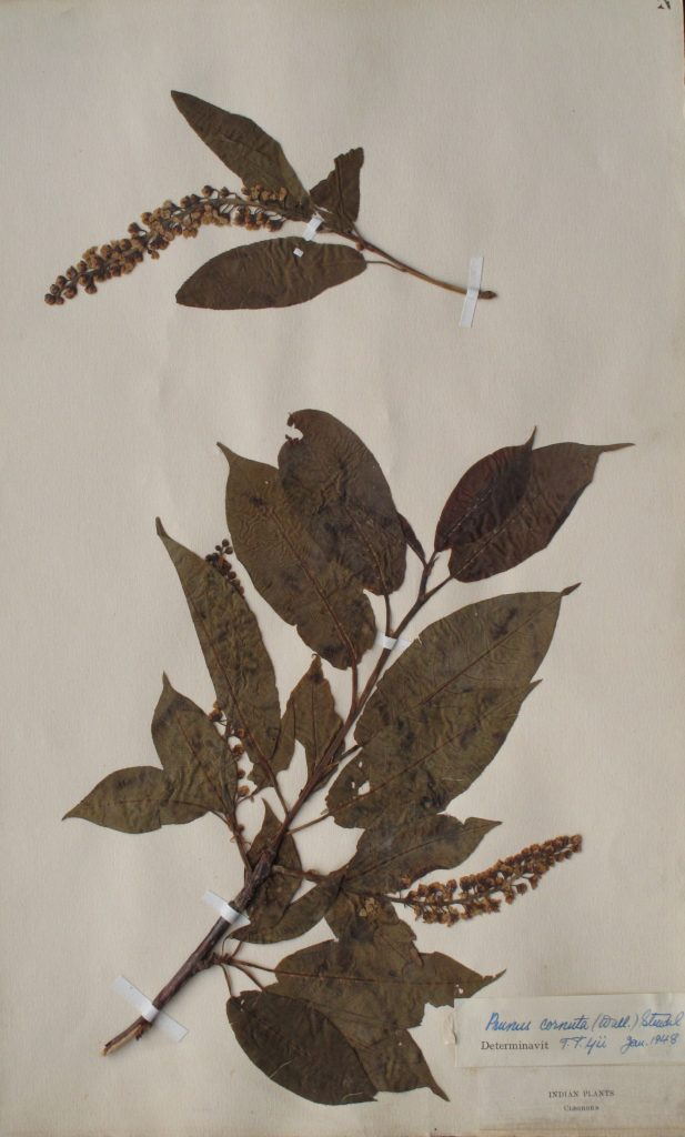 Specimen of Prunus cornuta collected in the Western Himalaya by Cleghorn, c. 1862.