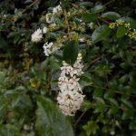 Ligustrum delavayanum 20031515B LPE03 131 (19a