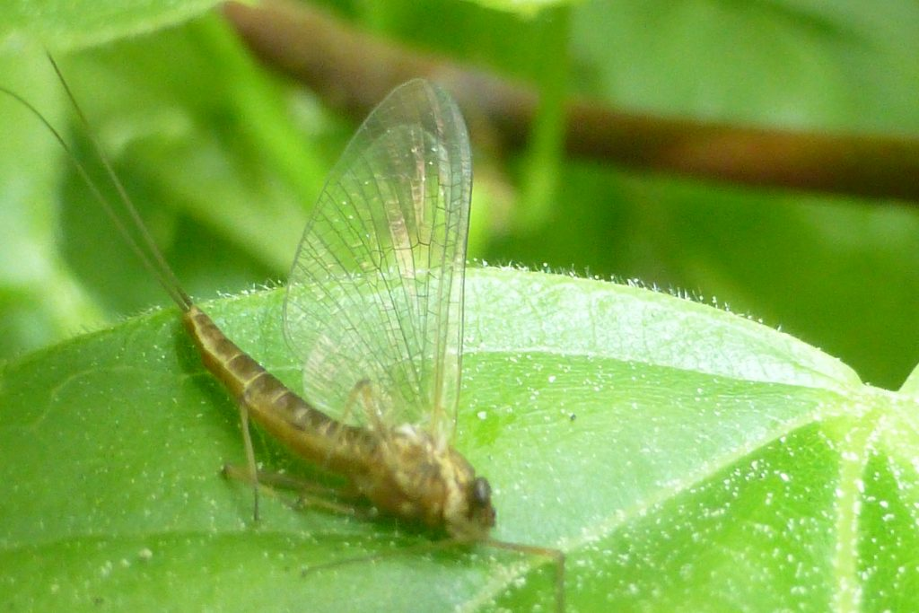 Olive Upright mayfly, Rhitrogena semicolorata, 7 June 2016. Photo Robert Mill.