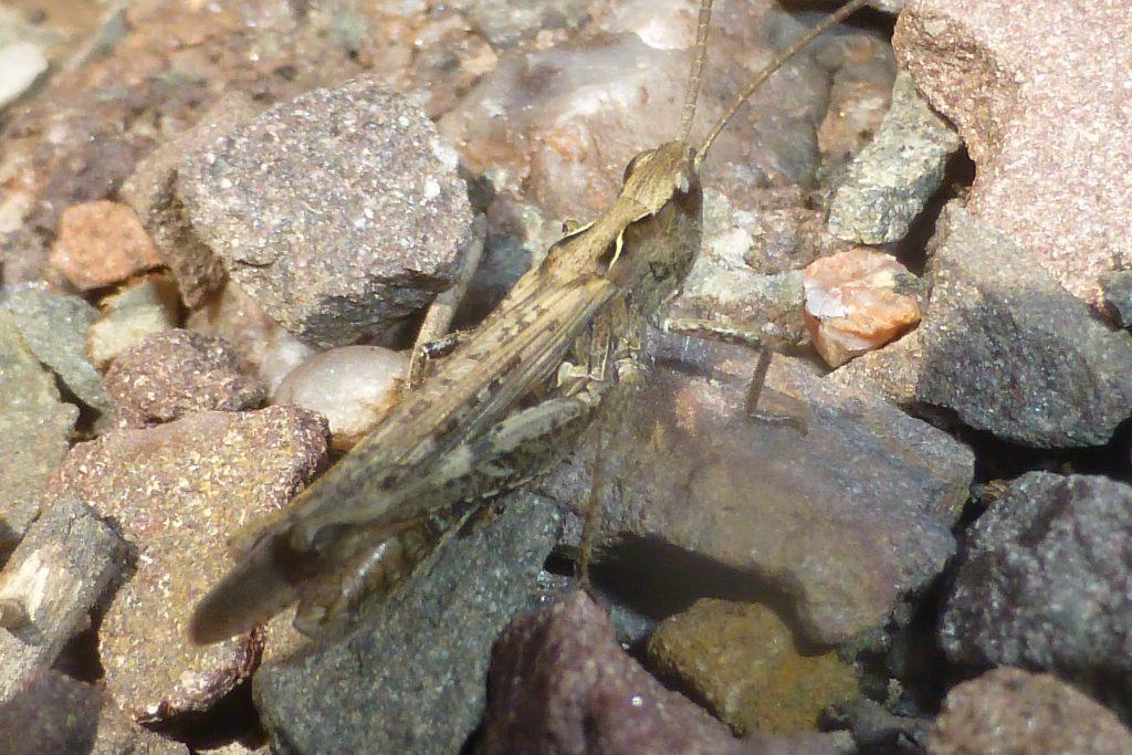 Common Field Grasshopper (Chorthippus brunneus) in RBGE Rock Garden, 18 July 2016. Photo Robert Mill.