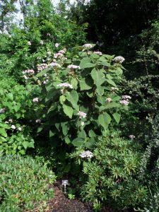 Hydrangea sargentiana 19081032*A
