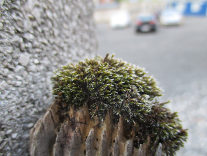 Schistidium on fence post, Austria