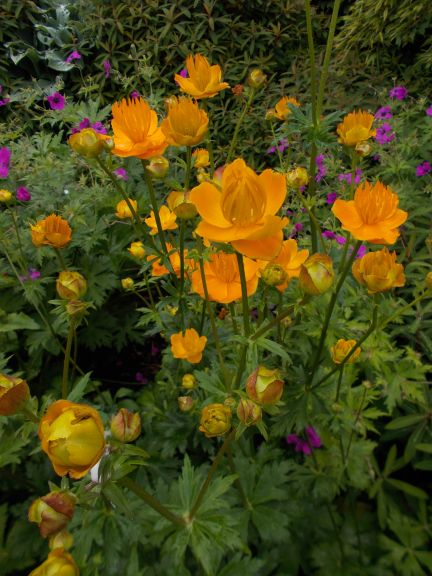 Trollius chinensis 'Gold Queen'
