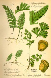 Top left Tunbridge filmy fern, a rare species located during the BioBlitz.