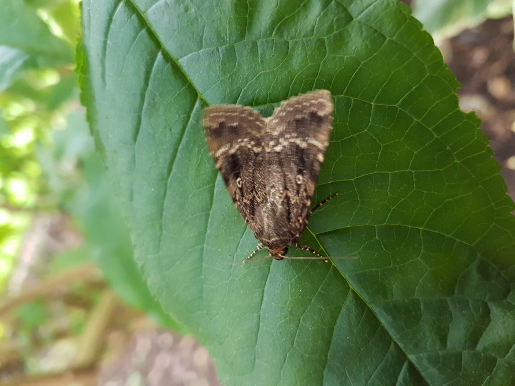 Copper Underwing.