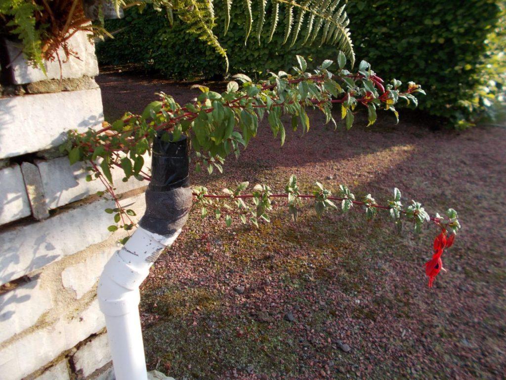 Fuchsia magellanica seedling