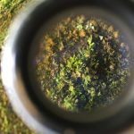 "This tiny ""animal-swallowing"" liverwort is spreading rampantly through our forests (and that's cool!)"