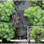 A phylogeny of Sphaerocarpos