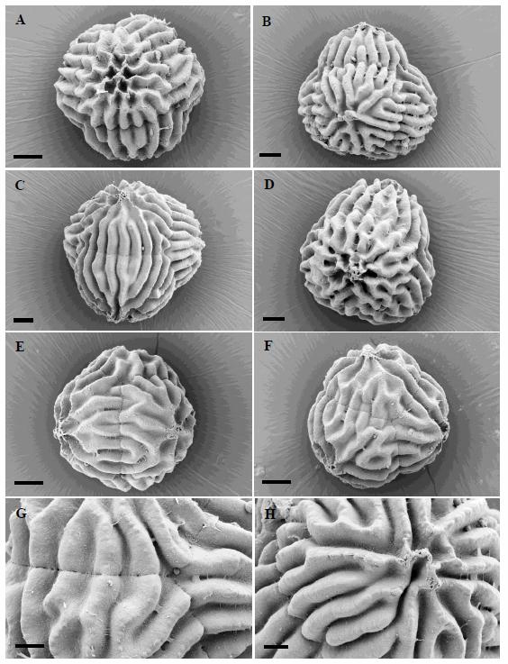 Spore SEMs of Sphaerocarpus drewiae, taken by Daniela Schill