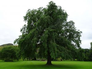Wentworth elm at the Palace of Holyroodhouse.