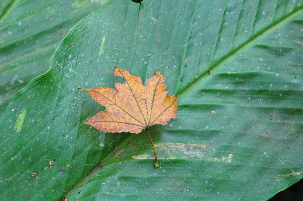 A leaf found near an Acer sp. specimen from which we collected seed