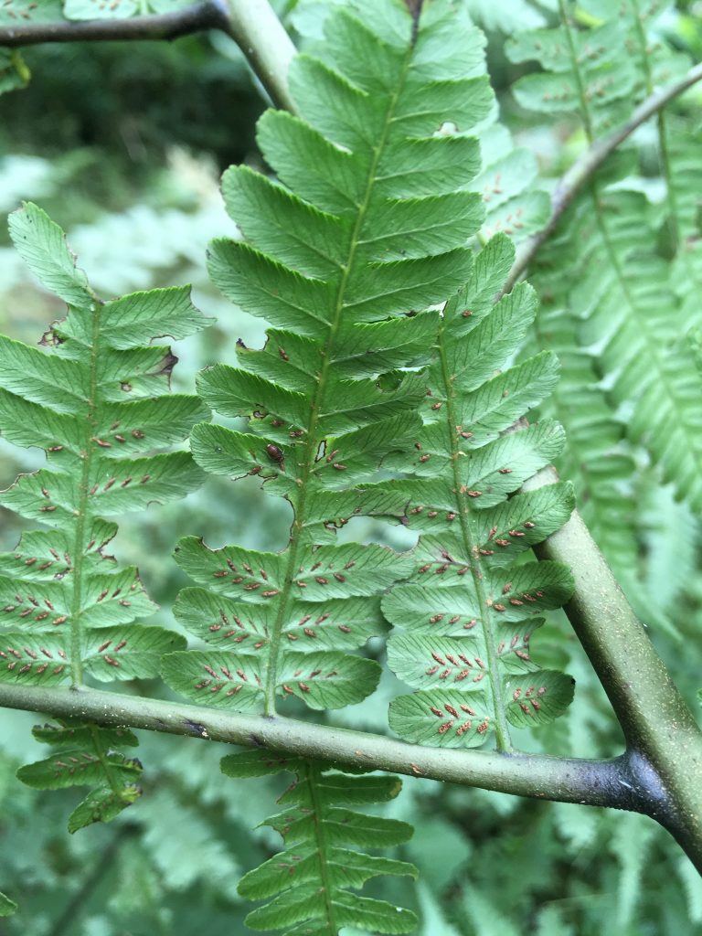 Abdaxial surface of frond displaying linear sori running along the veins.