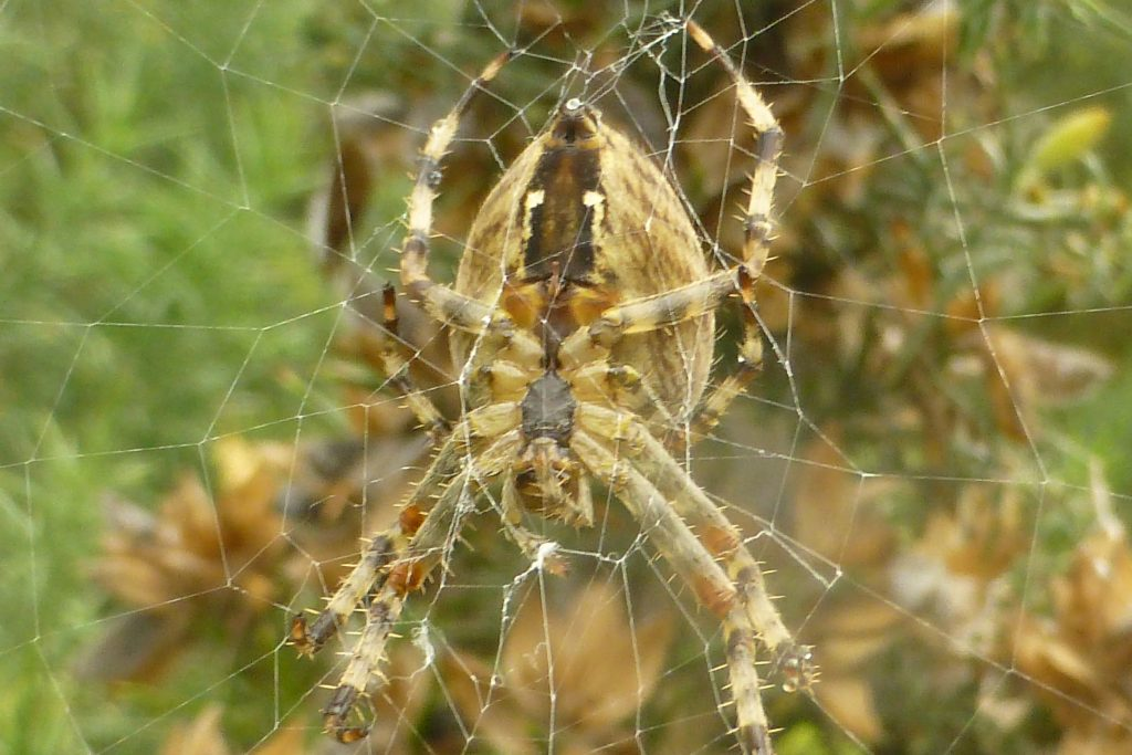 Garden Spider (Aranea diademata) and web on gorse, 26 September 2016. Photo Robert Mill.