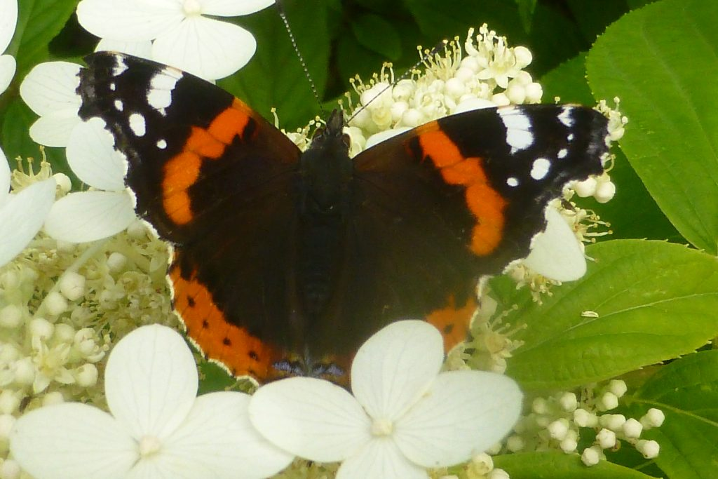 Red Admiral (Vanessa atalanta), 27 September 2016. Photo Robert Mill.