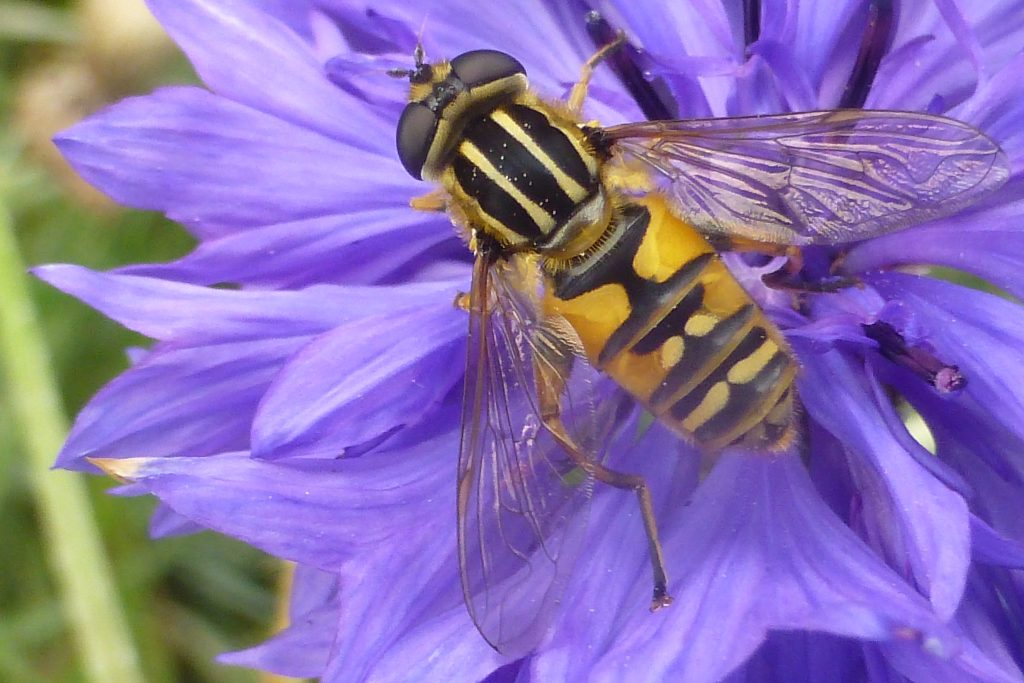 Striped or Footballer Hoverfly (Helophilus pendulus) on cornflower, 27 September 2016. Photo Robert Mill.