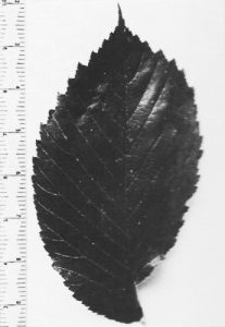 Leaf of a Wentworth elm grown at the Royal Botanic Gardens Kew that matches perfectly to the Palace trees.