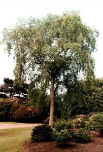 RBGE Wentworth elm that died in 1996 due to Dutch elm disease.