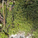 Telaranea murphyae: The non-native endemic that wasn't