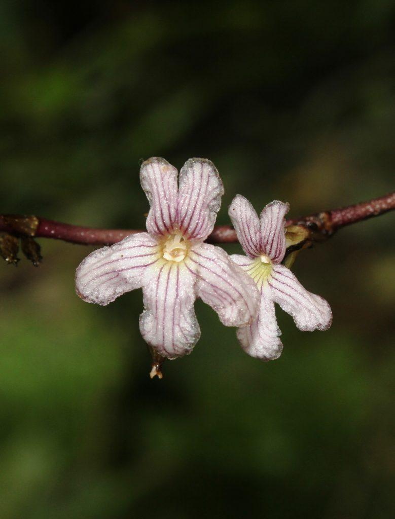 Cyrtandra hypogaea
