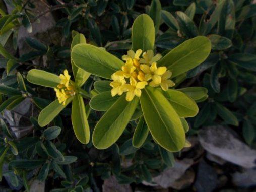 Daphne gemmata