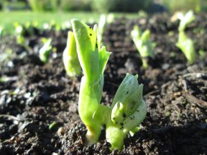 November broad beans