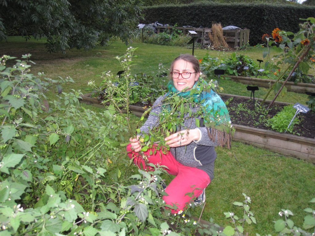 Tiina harvesting black nightshade in October 2016.