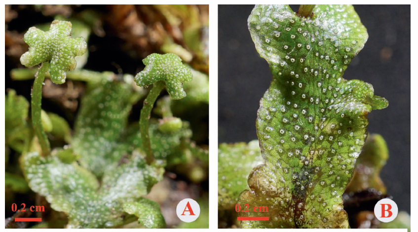 Marchantia longii, from Fig. 1, Xiang et al. 2016, The Bryologist