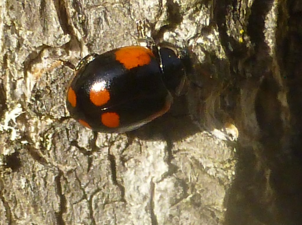 Unusual variant of 2-spot Ladybird, 3 October 2016. Photo Robert Mill.