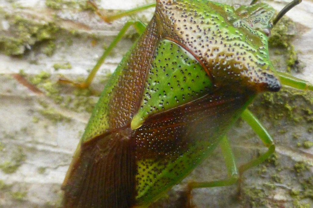 Close up of body markings on Birch Shieldbug, 28 October 2016. Photo Robert Mill.