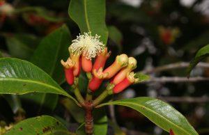 Syzygium aromaticum (clove) flower buds