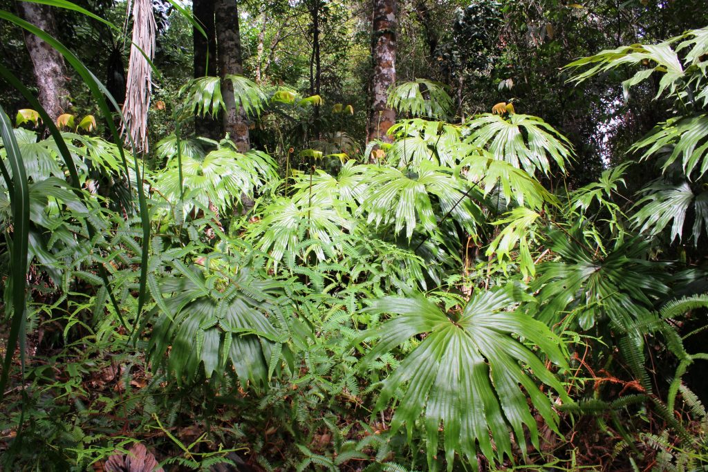widespread fern species Dipteris conjugata