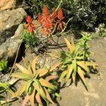 Aloe elgonica ( Arid lands of glasshouses)