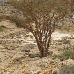 Botanical gold: frankincense and myrrh