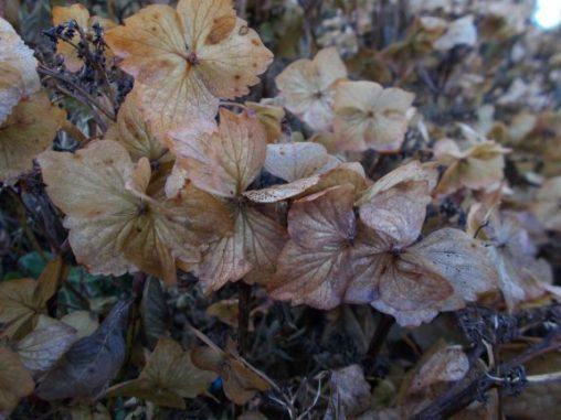 Hydrangea macrophylla 'Lilacina'