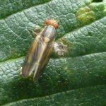 Peplomyza litura, an uncommon Scottish fly, found in Rock Garden
