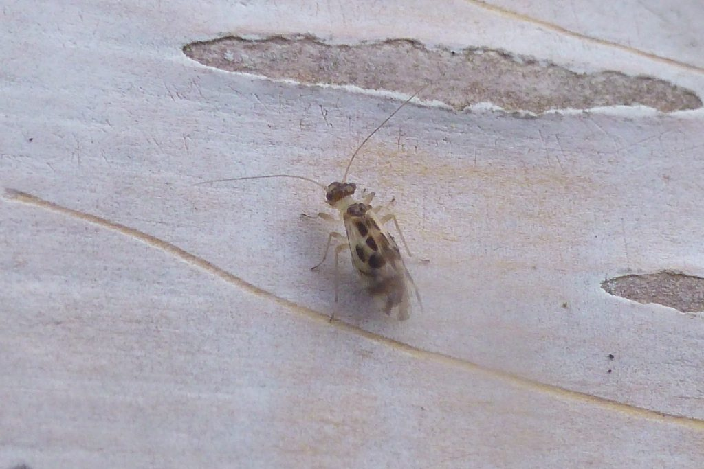 Graphopsocus cruciatus, a barkfly, on birch bark. New Garden record, 22 November 2016. Photo Robert Mill.