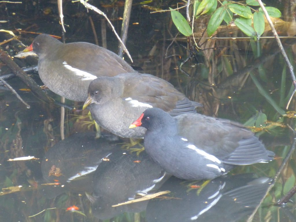 Three Moorhens (Gallinula chloropus) sheltering on a very frosty day, 24 November 2016. The one in the centre is a juvenile. Photo Robert Mill.