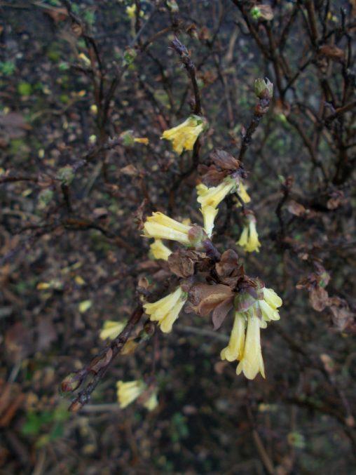 Lonicera myrtillus