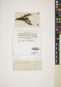 Polytrichadelphus magellanicus