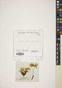 Dendrohypopterygium arbuscula