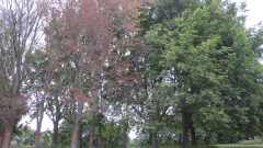 Climate pins down dreaded tree disease